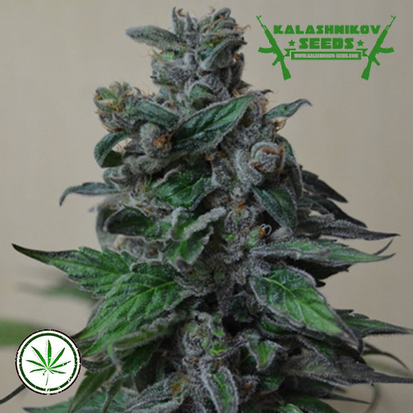 Moscow Blueberry