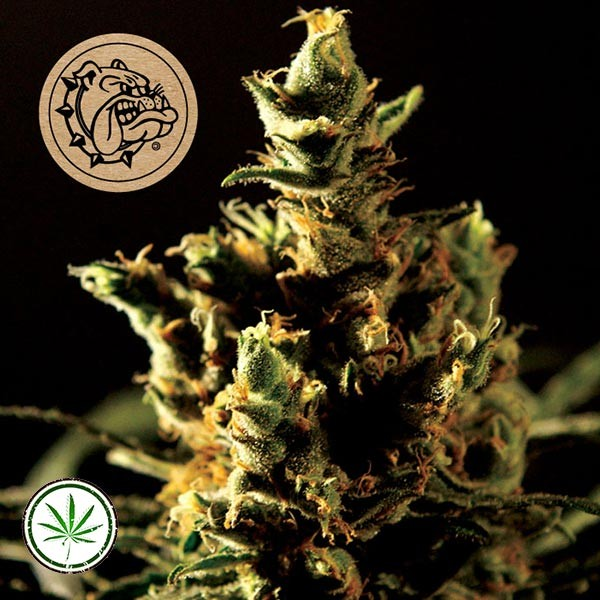 The Bulldog Haze Auto