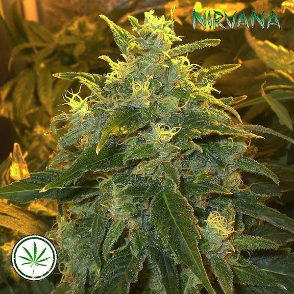 Northern Light fem
